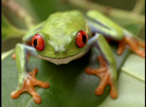 Extreme close-up of a bright green red-eyed tree frog staring at the camera Footage