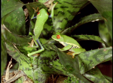 Panning-shot of Red-Eyed Tree Frogs in the Amazon rainforest Footage