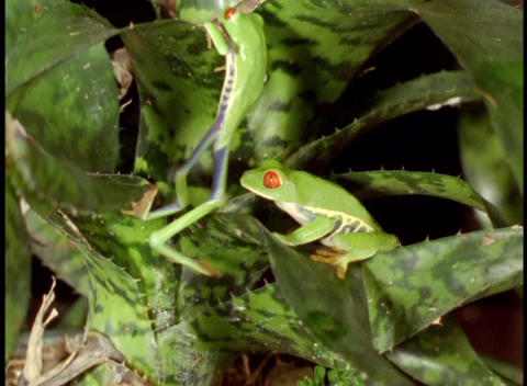 Panning-shot of Red-Eyed Tree Frogs in the Amazon rainforest Stock Video Footage