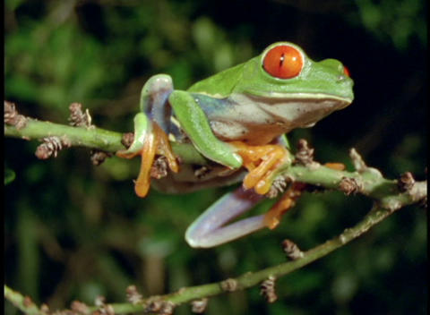 Medium pan of bright green red-eyed tree frog on plant Footage