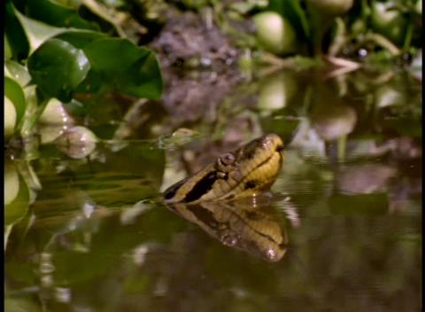 Panning-shot of an anaconda snake floating among water... Stock Video Footage