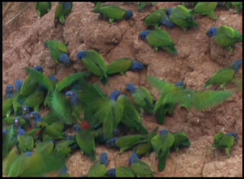 Medium-shot of wild parrots swarming around a nesting... Stock Video Footage