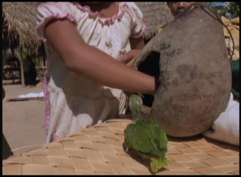 Following-shot of a little girl removing baby parrots... Stock Video Footage