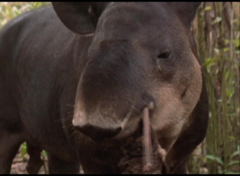 Close-up of a Brazilian tapir in Amazon rain forest Stock Video Footage