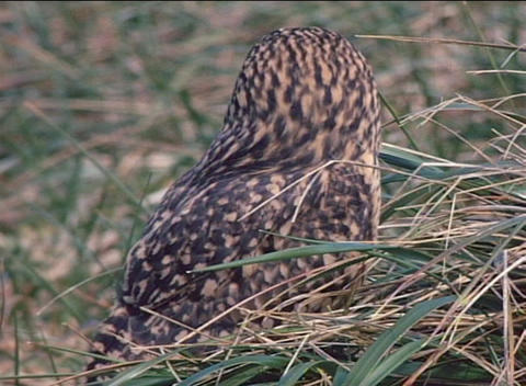 A short-eared owl sits in the grass on the Falkland Islands Footage