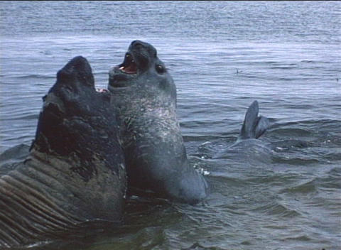 Elephant seals tussle for dominance on the Falkland Islands Stock Video Footage