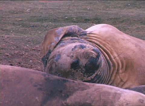 An elephant seal scratches an itch on the Falkland Islands Footage