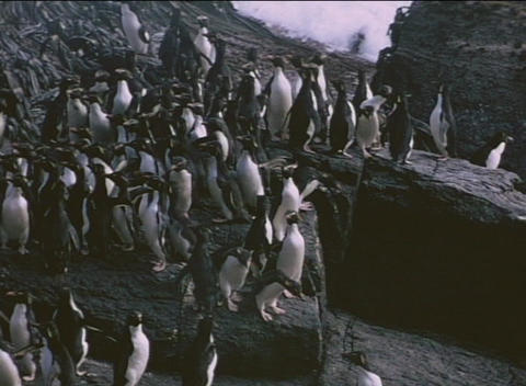 Rockhopper penguins traverse a rocky shoreline on the... Stock Video Footage