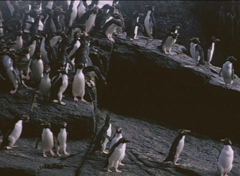 Rockhopper penguins traverse a rocky shoreline on the Falkland Islands Live Action