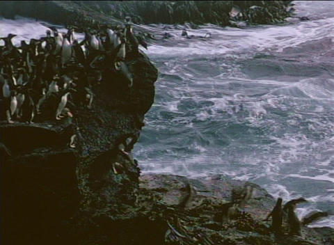 Rockhopper penguins jump and dive off rocks near the... Stock Video Footage
