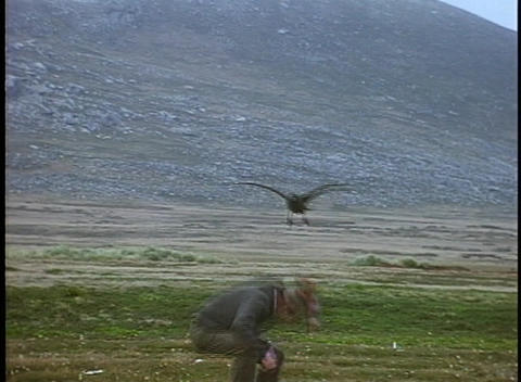 A skua bird attacks a hiker on the Falkland Islands Stock Video Footage