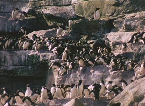 Rockhopper penguins descend cliffs on the Falkland Islands Stock Video Footage