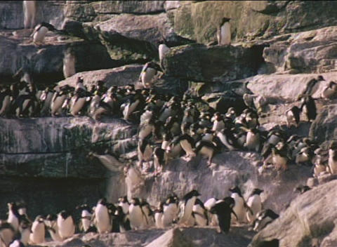 Rockhopper penguins descend cliffs on the Falkland Islands Footage