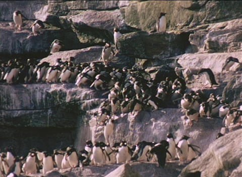 Rockhopper penguins descend cliffs on the Falkland Islands Stock Video Footage