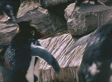 Rockhopper penguins ascend the cliffs on the Falkland... Stock Video Footage