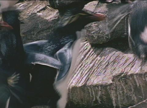 Rockhopper penguins ascend the cliffs on the Falkland... Stock Video Footage
