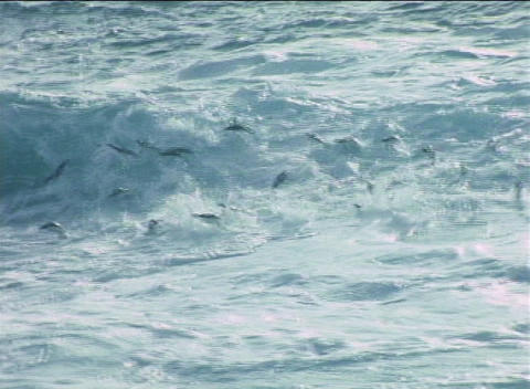 Rockhopper penguins ride the surf onto the shore of the... Stock Video Footage