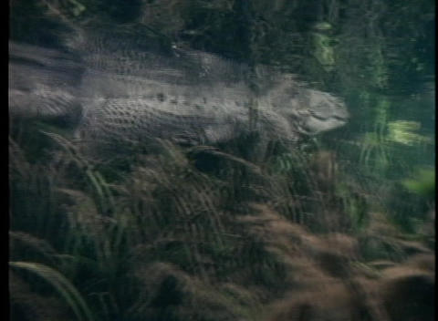 An alligator swims in clear water Footage