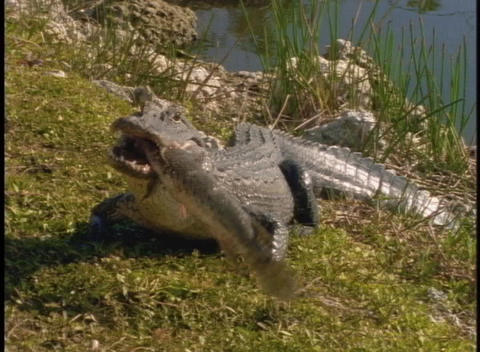 An alligator eats a fish on a river bank Stock Video Footage