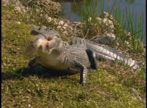 An alligator eats a fish on a river bank Footage