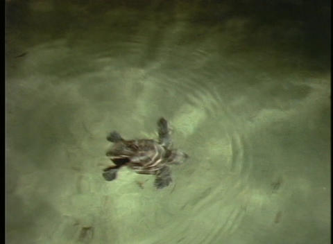 A sea turtle hatchling bobs in the surf Stock Video Footage
