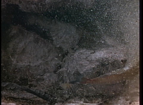 A snapping turtle lures prey with its tongue Stock Video Footage