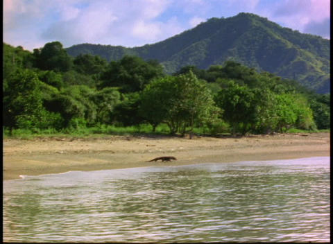 A Komodo Dragon walks along the edge of the water on a... Stock Video Footage