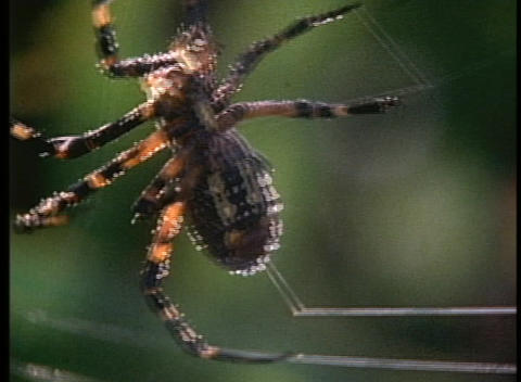 A black and orange spider tends to its web Footage