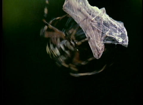 A spider wraps a captured insect in a web cocoon Footage