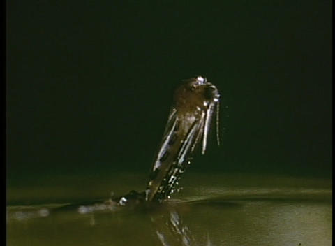A mosquito emerges from a hole on the surface of the water Footage