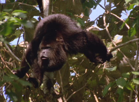 A howler monkey calls from the tree tops Live Action