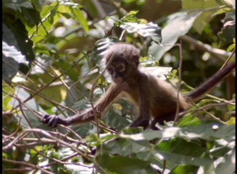 A baby monkey climbs in a tree Footage