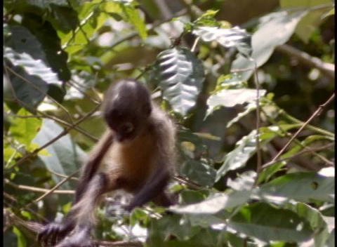A baby monkey climbs in a tree Stock Video Footage