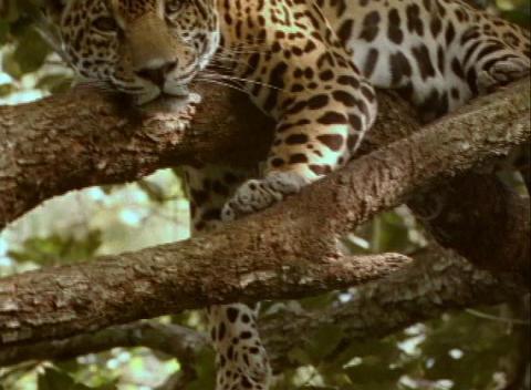 A jaguar rests on a sturdy tree branch Stock Video Footage