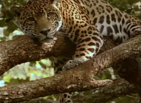 A jaguar rests on a sturdy tree branch Live Action