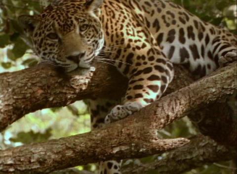 A jaguar rests on a sturdy tree branch, Live Action