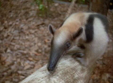 An anteater climbs a tree Stock Video Footage