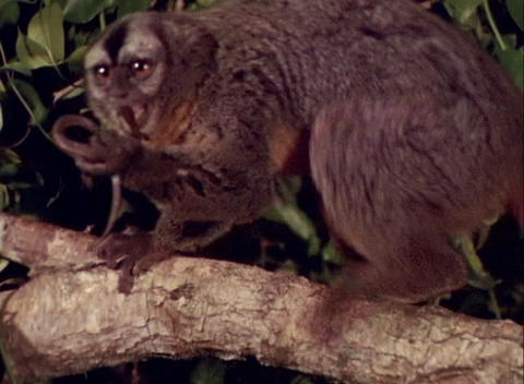 A monkey eats a lizard in a tree Stock Video Footage