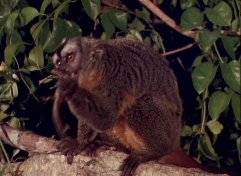 A monkey eats a lizard in a tree Stock Video Footage