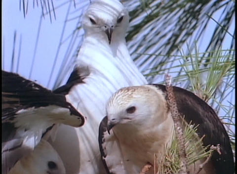 juvenile osprey birds receive a frog from their parent Stock Video Footage