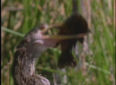 A shorebird holds a fish in its beak Stock Video Footage