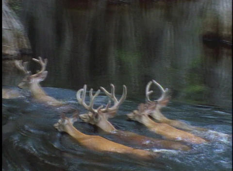 A herd of deer swims through a swamp Stock Video Footage