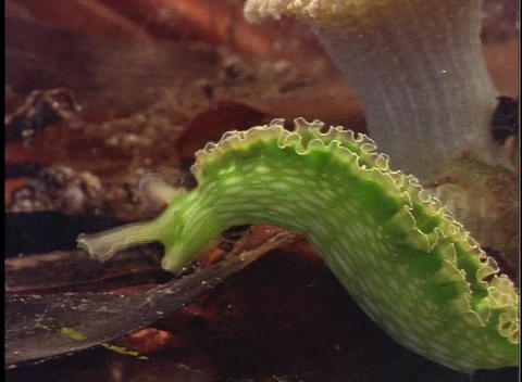 A bright green sea slug forages in the sea Stock Video Footage