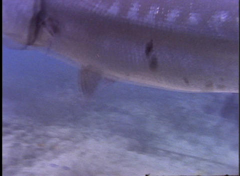 Underwater divers encounter a barracuda catching a fish Stock Video Footage