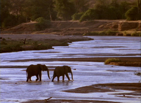 elephants cross a shallow river Stock Video Footage