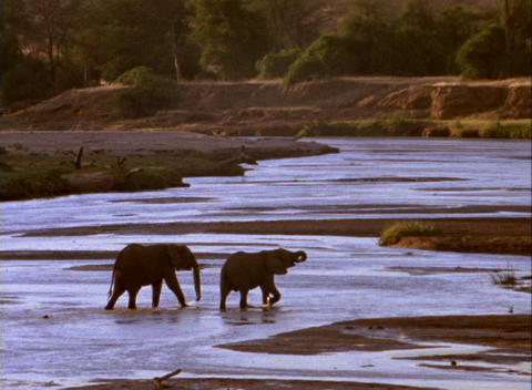 Elephants Cross A Shallow River stock footage