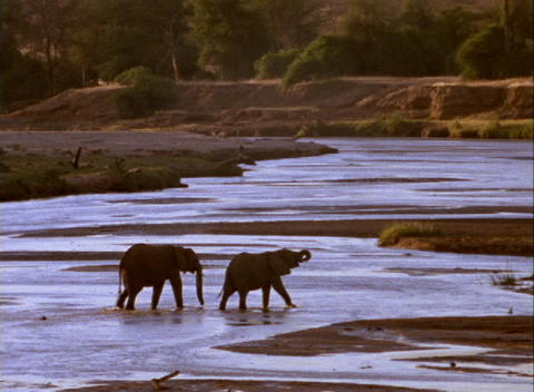 elephants cross a shallow river Stock Video Footage