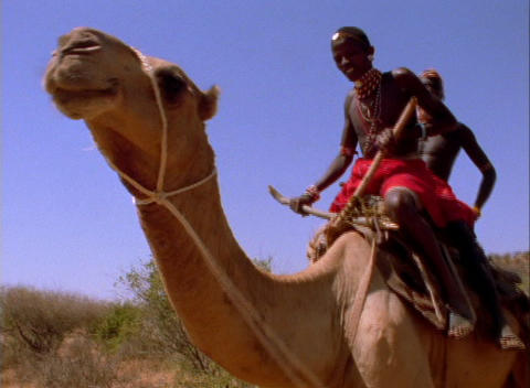 Masai tribesmen ride a camel in Africa Footage