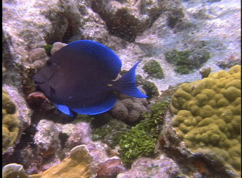 A fish with bright blue fins swims in tropical sea water Footage