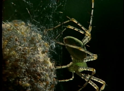 A spider tends to its egg sac Footage